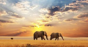 africa elefants